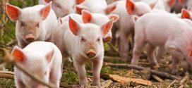 Alt caz de pestă porcină în Teleorman