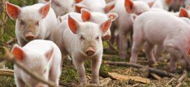 Focar nou de pestă porcină la Ștorobăneasa