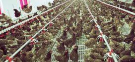 De ce tace Direcția Sanitar Veterinară Teleorman în povestea milioanelor de ouă contaminate? Cine, ce și cât ascunde?