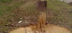 """Prin complicitatea autorităţilor, """"pădurea nebună"""" s-a transformat în islaz inundabil"""