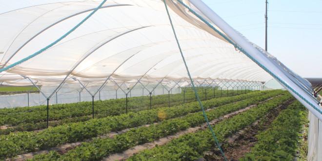 Riscul unui antreprenor. Un teleormănean cultivă căpșuni din luna mai până în octombrie