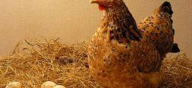 Milioane de ouă contaminate cu o substanță periculoasă, identificate într-o fermă din Teleorman