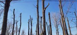 Cum a ajuns Pădurea Vedea o mare de cioturi?